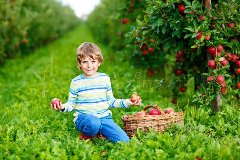 Aktiv lycklig blond ungepojke som utomhus väljer och äter röda äpplen på den organiska lantgården, höst Roligt litet förskole- ba arkivbilder