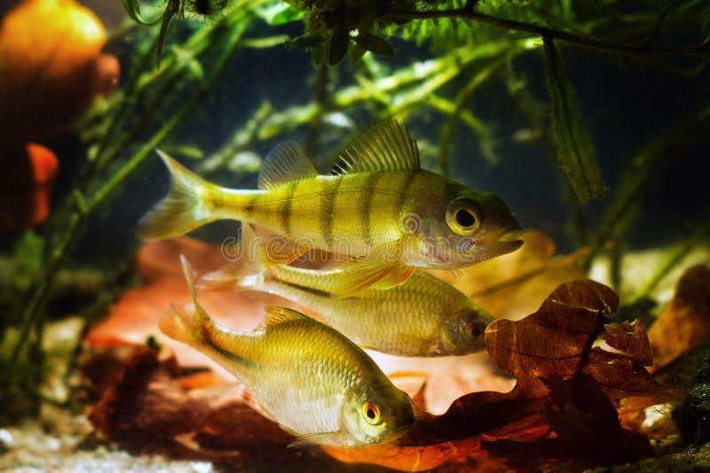 Aktiv rovdjur, perca fluviatilis och allvores, europeisk bitterling, Rhodeus amarus, vuxna prydnadsfiskar royaltyfria bilder