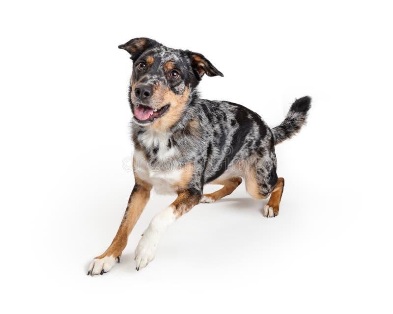 Aktiver australischer Schäfer Crossbreed Dog lizenzfreies stockbild