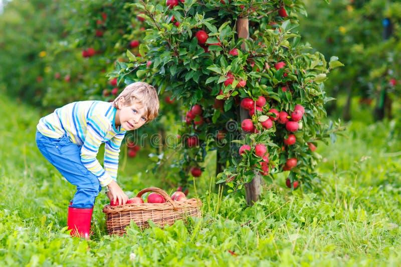 Aktiver glücklicher blonder Kinderjunge, der draußen rote Äpfel auf Biohof, Herbst auswählt und isst stockfoto