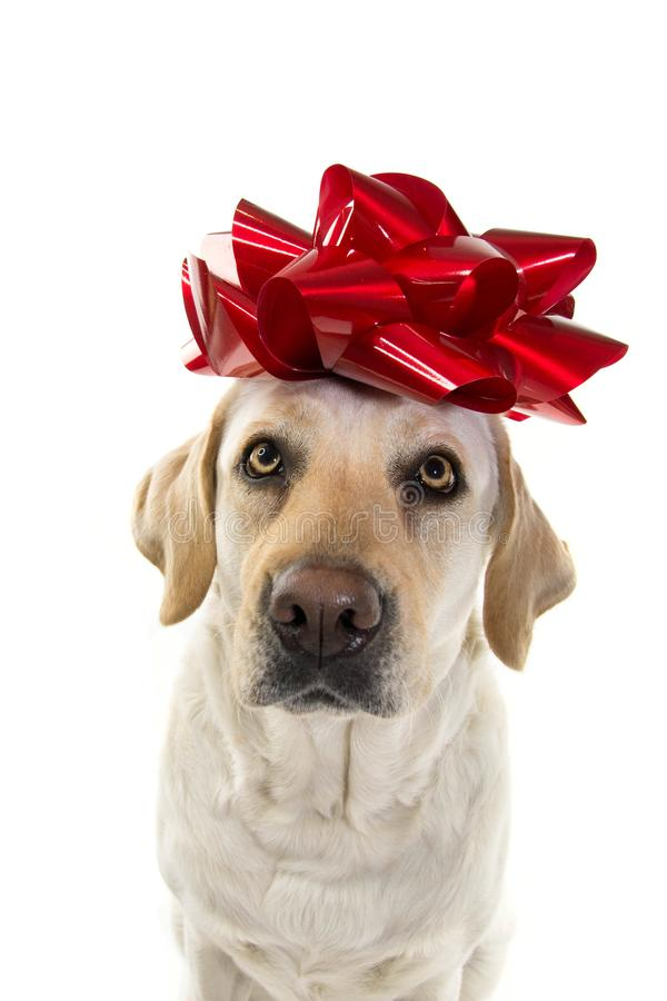 Aktuell hund LABRADOR MED EN STOR RÖD PILBÅGE PÅ HUVUDET VALP ELLER ÄLSKLINGS- GÅVA FÖR JUL ELLER FÖDELSEDAGBEGREPP ISOLERAT SKOT royaltyfri foto