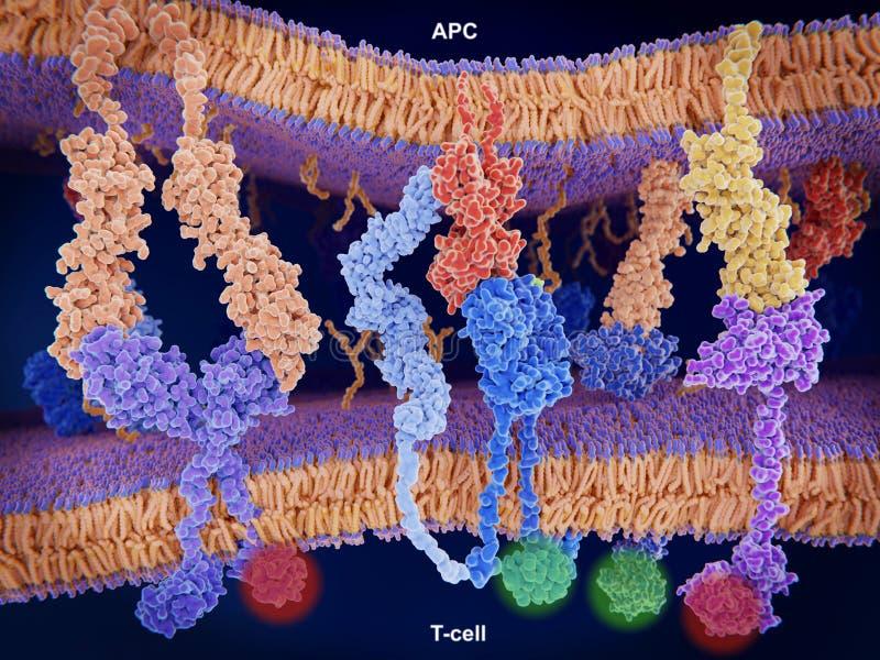 Aktywacja i inhibicja reakcja odpornościowa na komórkach ilustracji