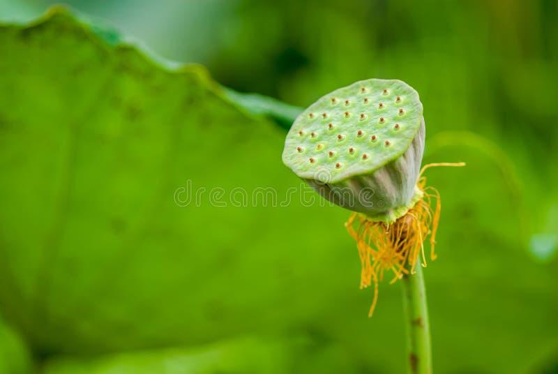 aktywator lotosu materiału siewnego fotografia royalty free