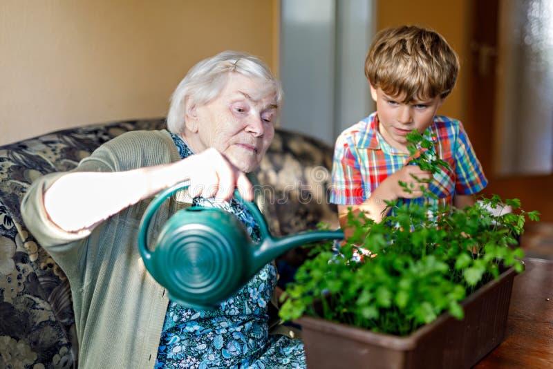 Aktywna ma?a preschool dzieciaka ch?opiec i uroczyste babci podlewania pietruszki ro?liny z wod? mo?emy w domu zdjęcie royalty free