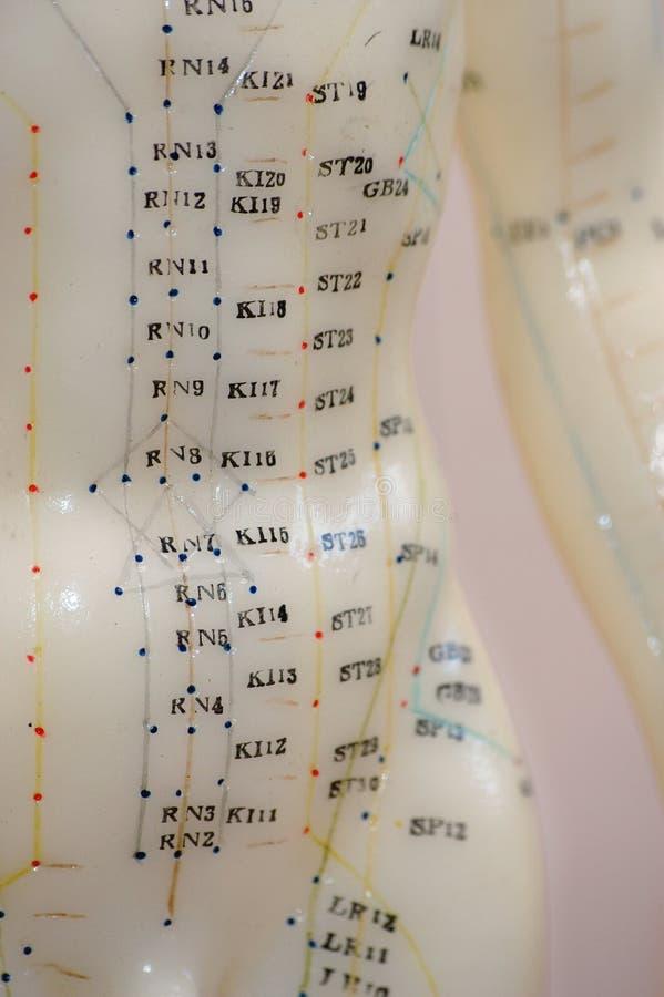Akupunktur-vorbildlicher Torso lizenzfreie stockfotografie