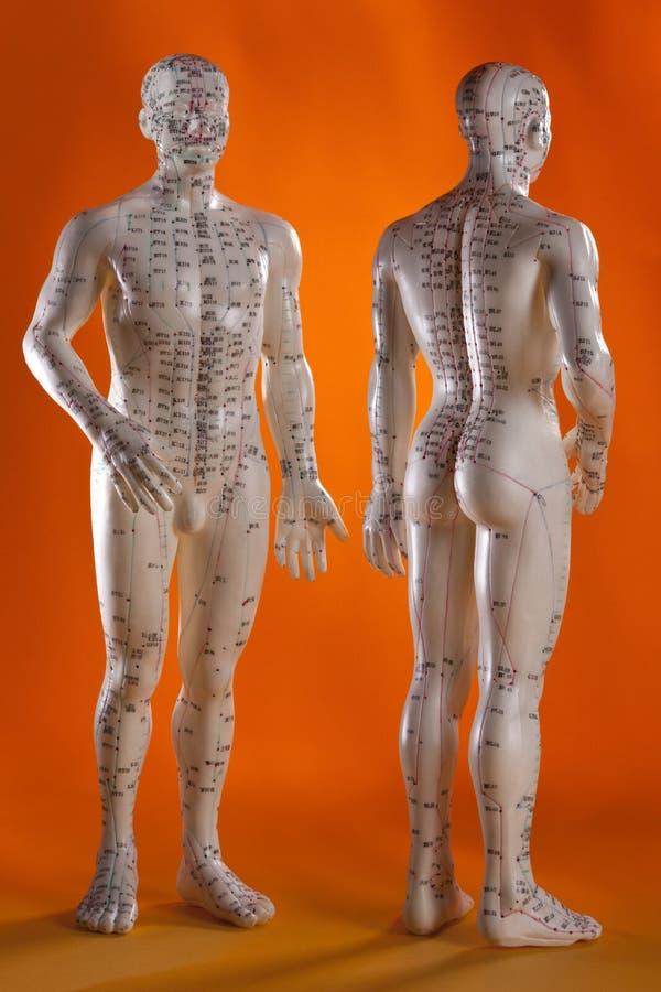 akupunktury alternatywny porcelanowy medycyny model zdjęcia royalty free