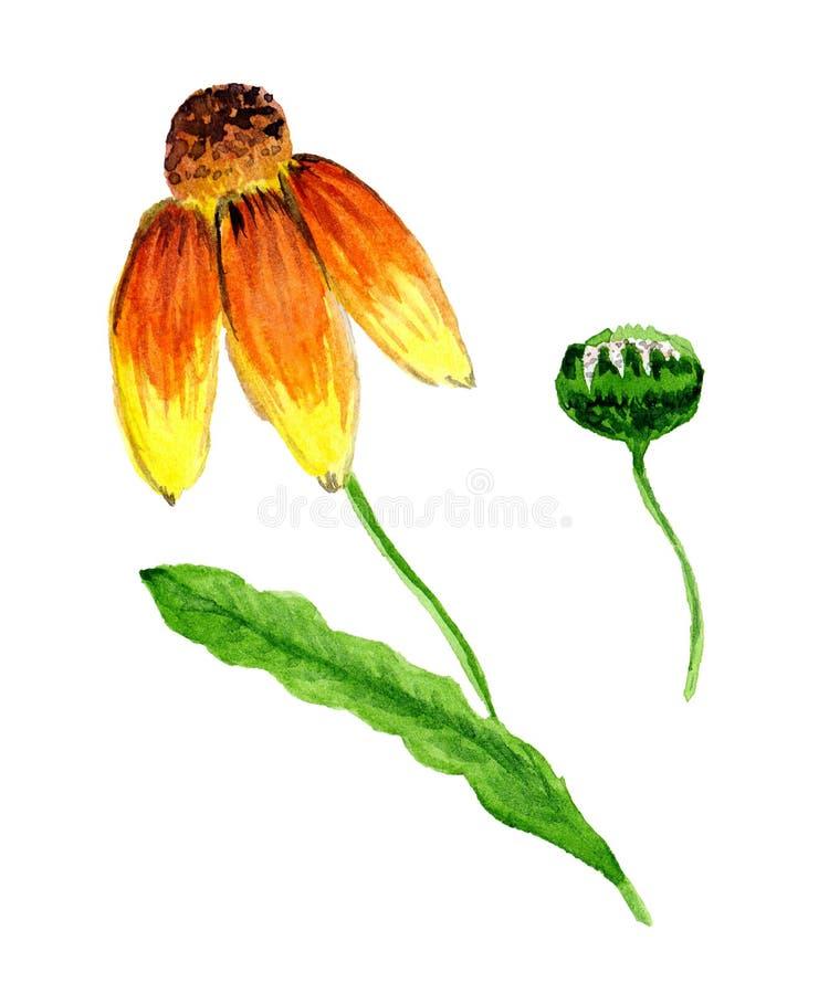 AkvarellRudbeckia - en härlig och ljus blomma med att sloka kronblad och en mörk conelike mitt- och rudbeckiaknopp stock illustrationer