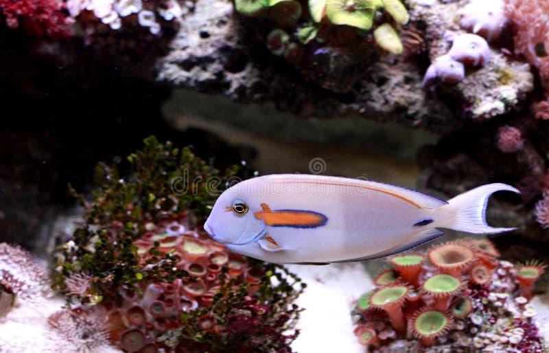 akvariefisk royaltyfria foton