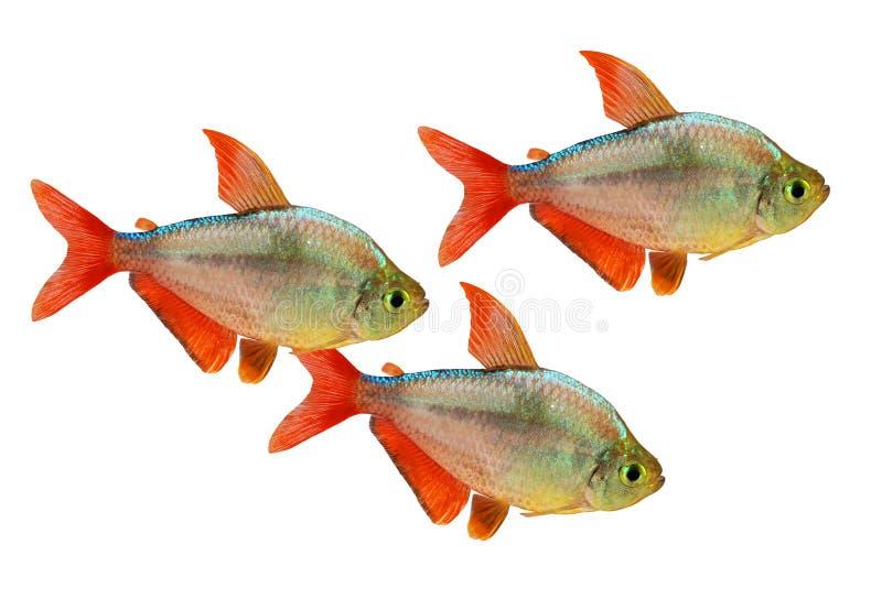 akvariefisk för Röd-blått isolerad Columbian Tetra Hyphessobrycon columbianus arkivfoto