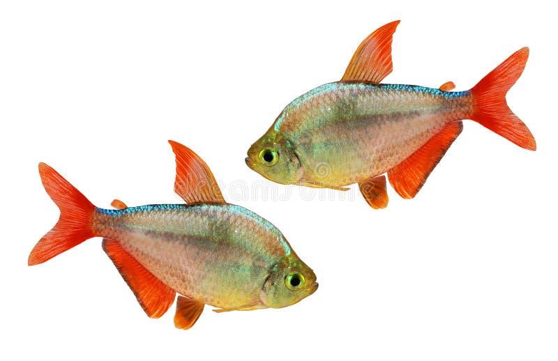 akvariefisk för Röd-blått isolerad Columbian Tetra Hyphessobrycon columbianus arkivfoton