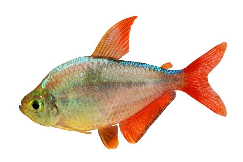 akvariefisk för Röd-blått isolerad Columbian Tetra Hyphessobrycon columbianus arkivbilder