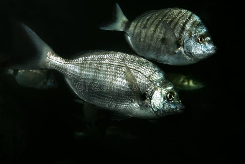 akvariefiskar royaltyfri bild