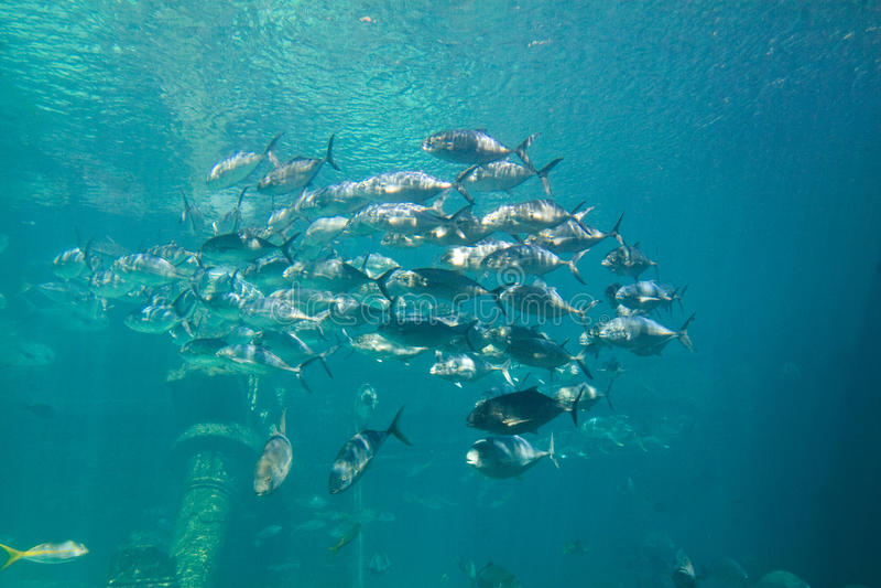 akvariefiskskola royaltyfri bild