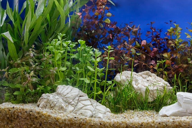 Akvariet planterar garnering, vatten- ormbunke, och akvariumväxten växer royaltyfria foton