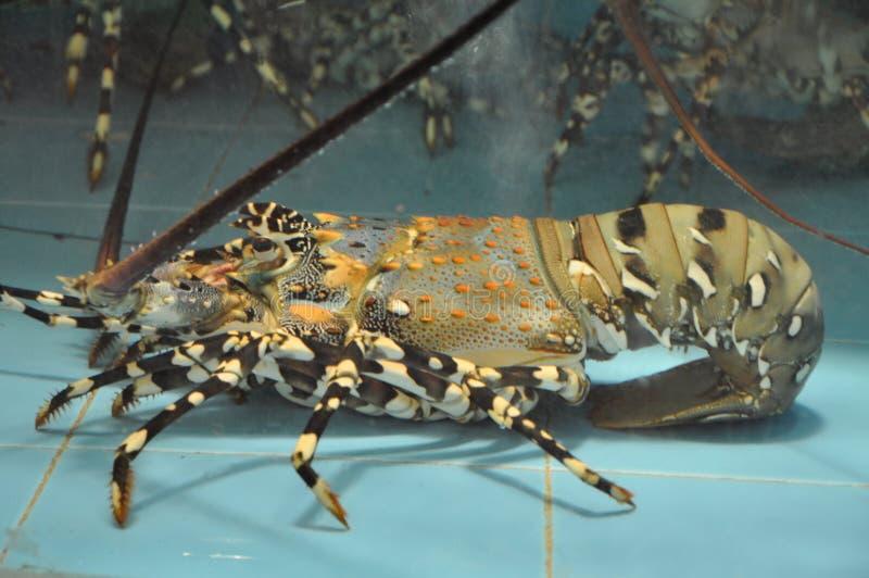 akvariumhummer arkivfoto