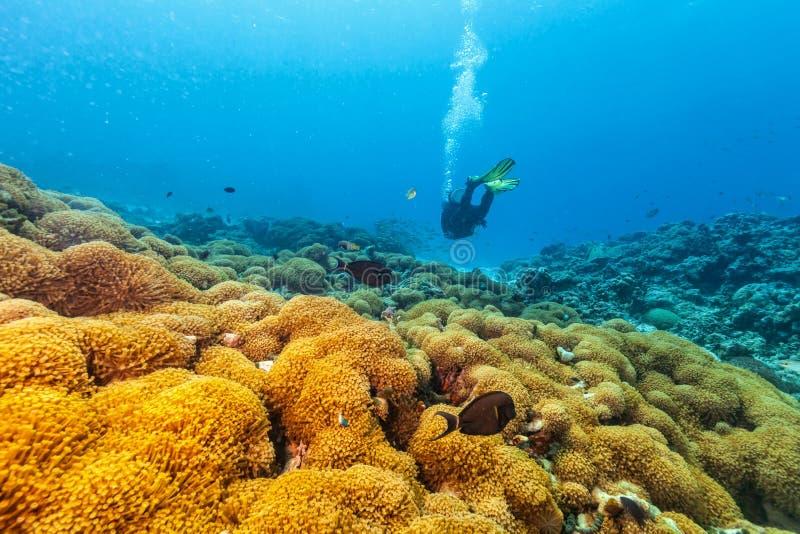 Akwalungu nurek podwodny egzamininuje blisko korale obrazy stock