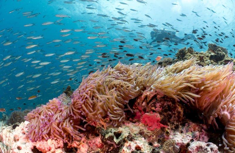 Akwalungu nurek za piękną rafą koralowa i anemonem zdjęcia royalty free