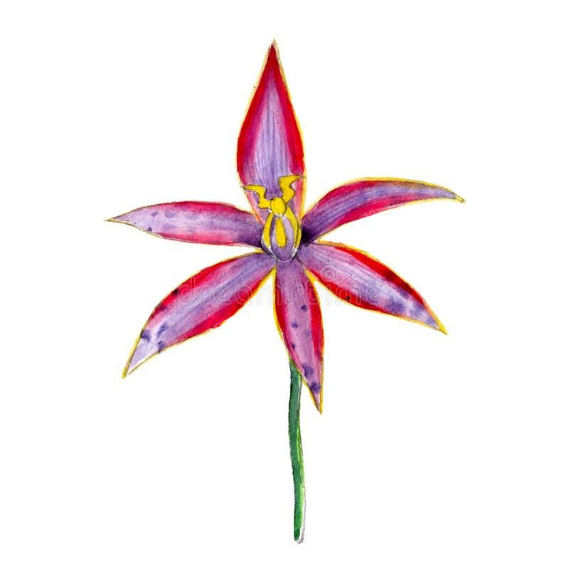 Akwarela Australijski rodzimy storczykowy kwiat, ręka rysująca, odizolowywający na bielu ilustracja wektor