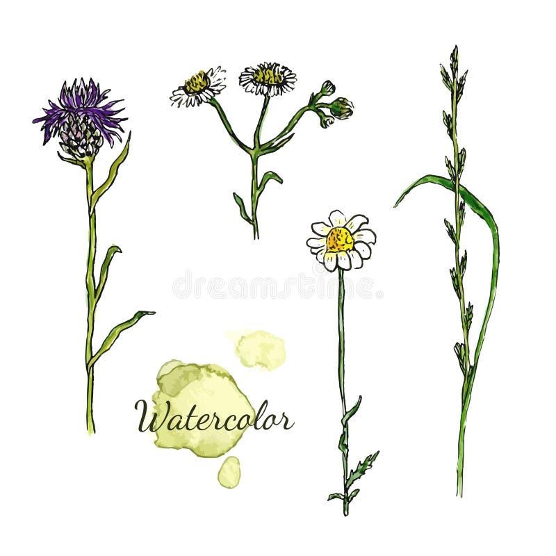 Akwarela botaniczny set z dzikimi kwiatami Rumianek, oset ilustracja wektor