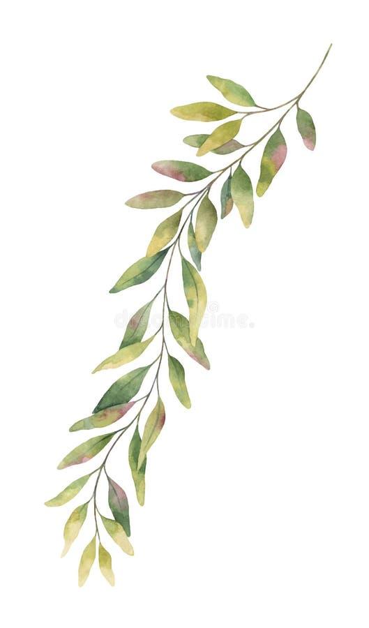 Akwarela eukaliptusa wektorowa ręka malująca zielona gałąź ilustracji