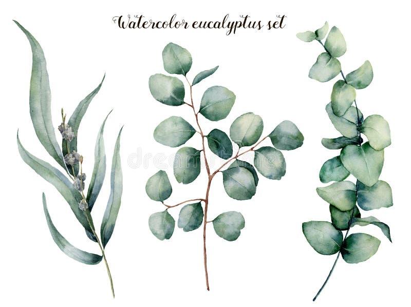Akwarela eukaliptusowy realistyczny set Wręcza malującą dziecka, siającego i srebnego dolara eukaliptusa gałąź odizolowywającą na royalty ilustracja
