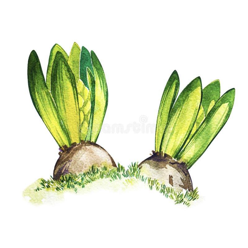 Akwarela hiacyntu ręka malujący kwiaty tła odcisku palca ilustracyjny biel Wielkanocny projekt ilustracji