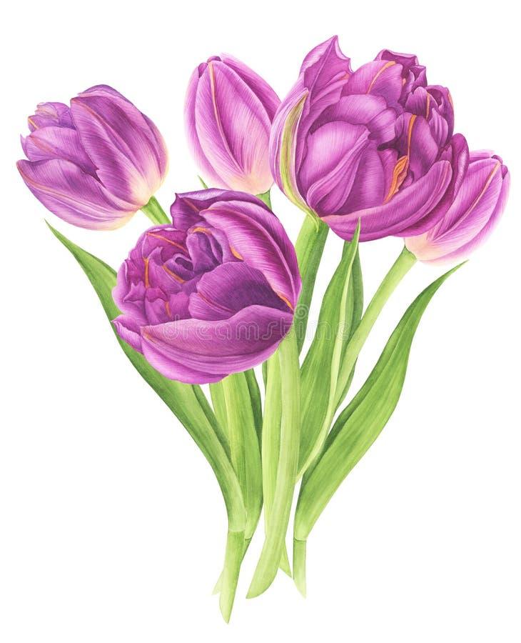 Akwarela ilustracyjny bukiet purpurowi tulipany ilustracja wektor