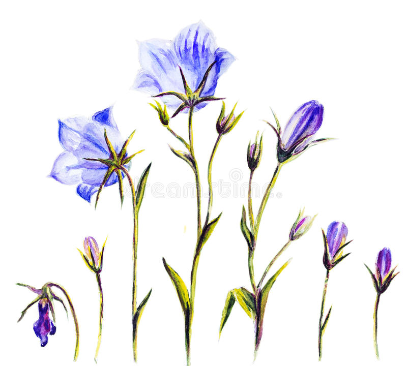 Akwarela obraz bellflowers ilustracji