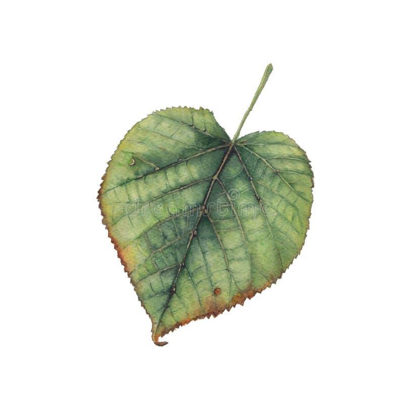 Akwarela obraz zielony lipowy liść zdjęcie royalty free
