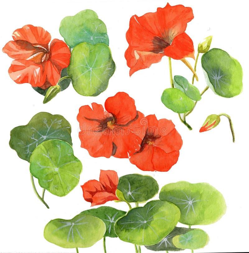 Akwarela obrazu nasturci ilustracyjnego kwiatu kwiecista roślina fotografia royalty free