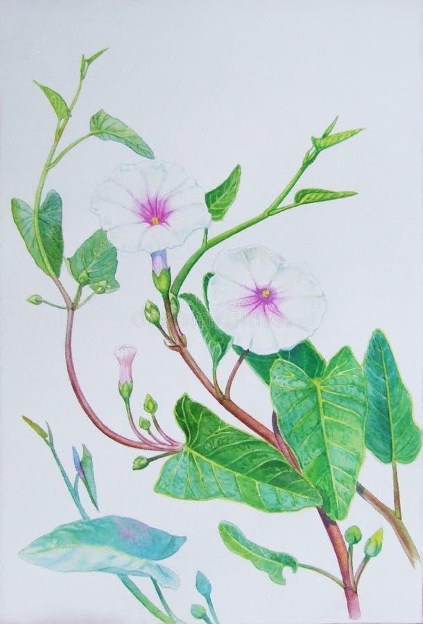 Akwarela obrazu oryginalny realistyczny ziele ranek chwała ilustracja wektor