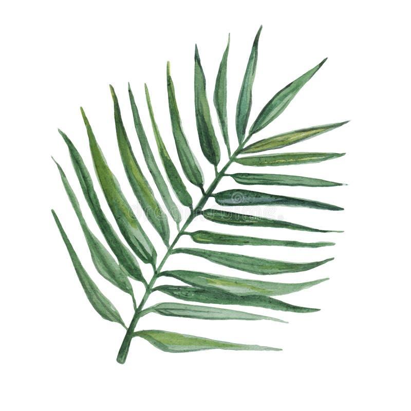 Akwarela palmowy liść odizolowywający na białym tle ilustracja wektor