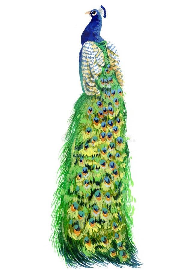 Akwarela pawi ptak odizolowywający zdjęcie royalty free