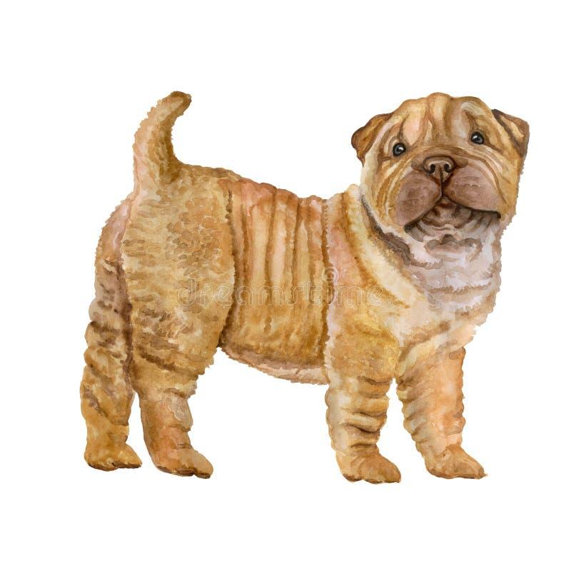 Akwarela portret czerwień, morela rozcieńcza Shar Pei szczeniaka trakenu psa na białym tle Ręka rysujący słodki zwierzę domowe royalty ilustracja