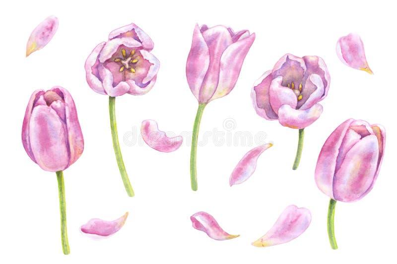 Akwarela Różowi tulipany na bielu ilustracja wektor