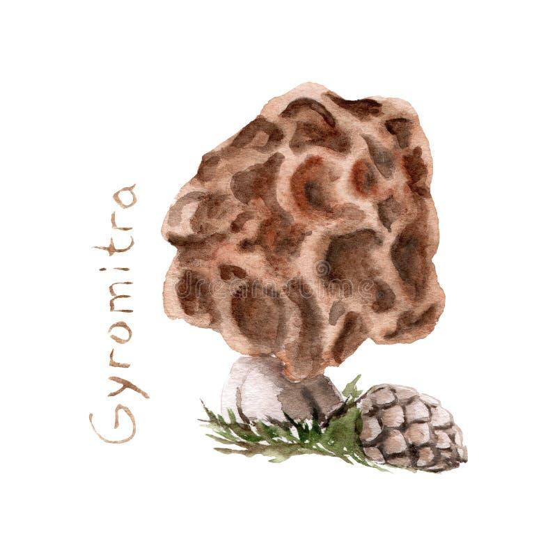Akwarela rysunek jadowite pieczarki - muchomor Gyromitra esculenta ilustracji