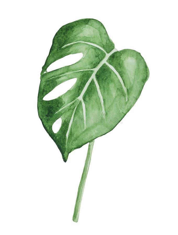 Akwarela, stylizowany młody liścia Monstera deliciosa ilustracji