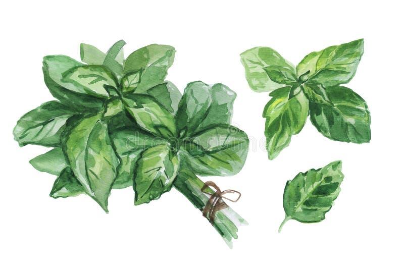 Akwarela ustawiająca świezi basilów liście odizolowywający na białym tle ilustracji