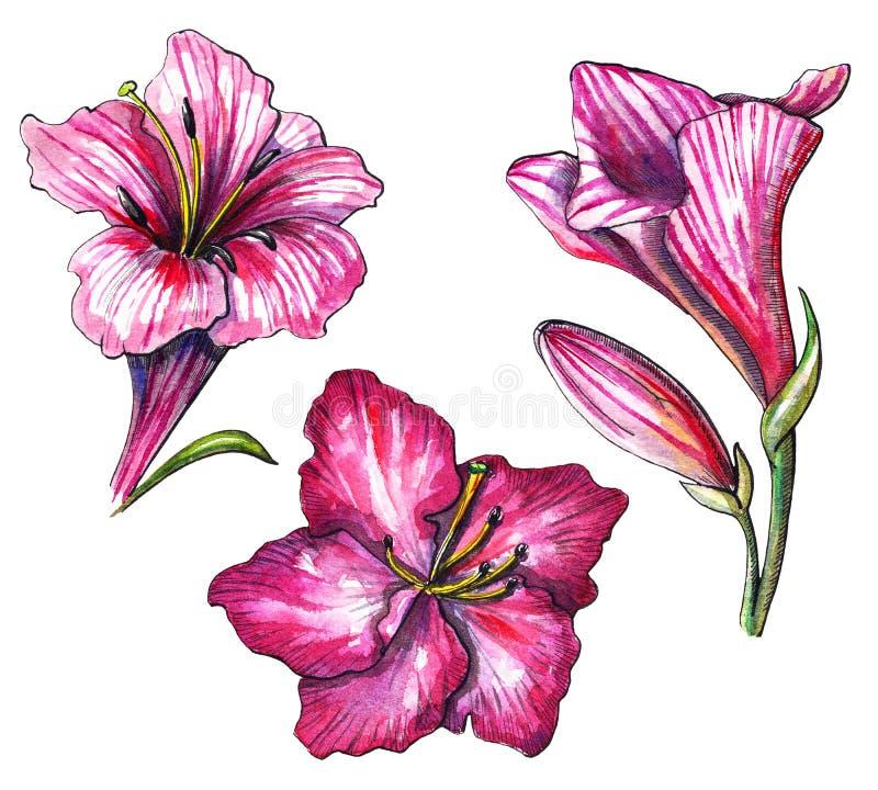 Akwarela ustawiająca z trzy menchii tropikalnym kwiatem ilustracji