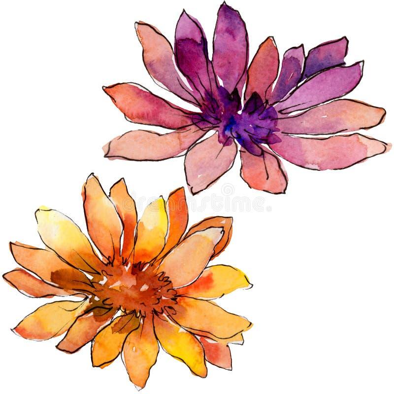 Akwareli afrykańskiej stokrotki kolorowy kwiat Kwiecisty botaniczny kwiat Odosobniony ilustracyjny element ilustracja wektor