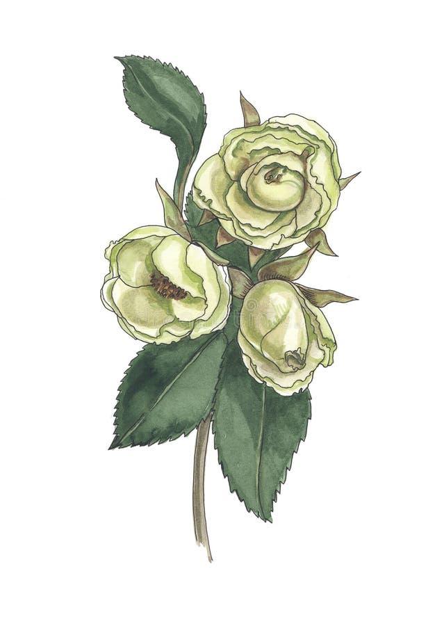 Akwareli botaniczna ilustracja kolor żółty róży gałąź royalty ilustracja