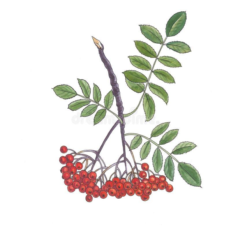 Akwareli botaniczna ilustracja rowan gałąź royalty ilustracja