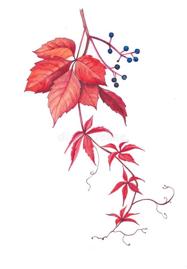 Akwareli botaniczna ilustracja Virginia pełzacz ilustracja wektor