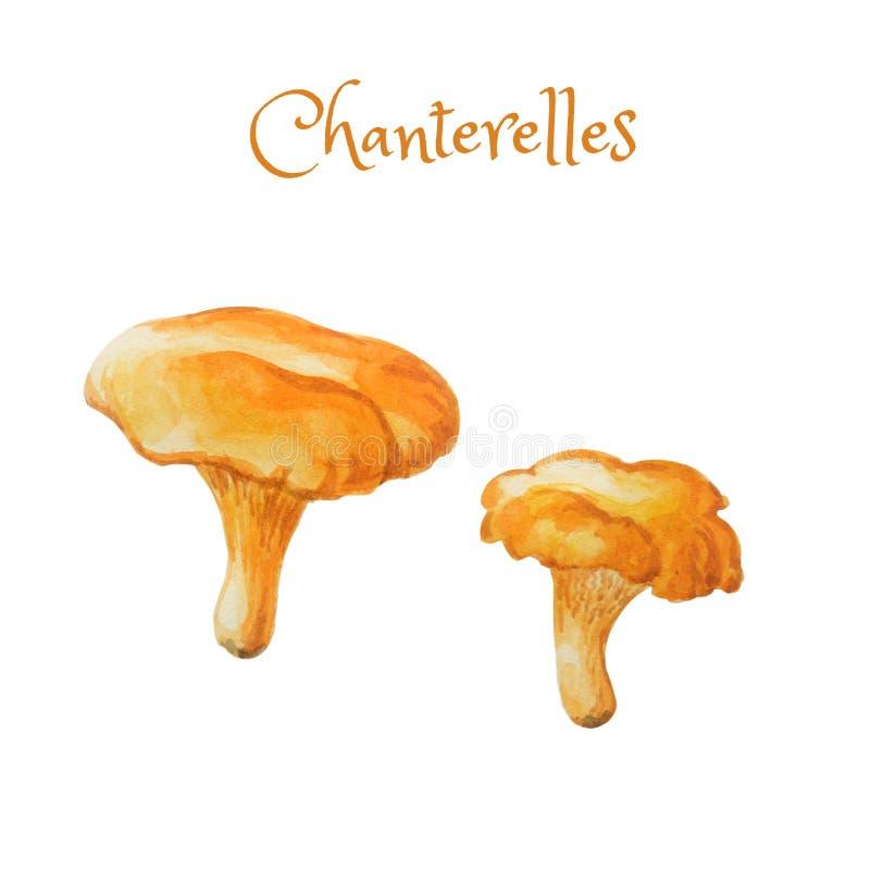 Akwareli chanterelles Jaskrawi pociągany ręcznie dwa jadalna pieczarka ilustracja wektor
