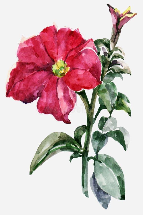 Akwareli czerwieni petunia tła ilustracyjny stary pergaminowy ślimacznicy biel ilustracja wektor