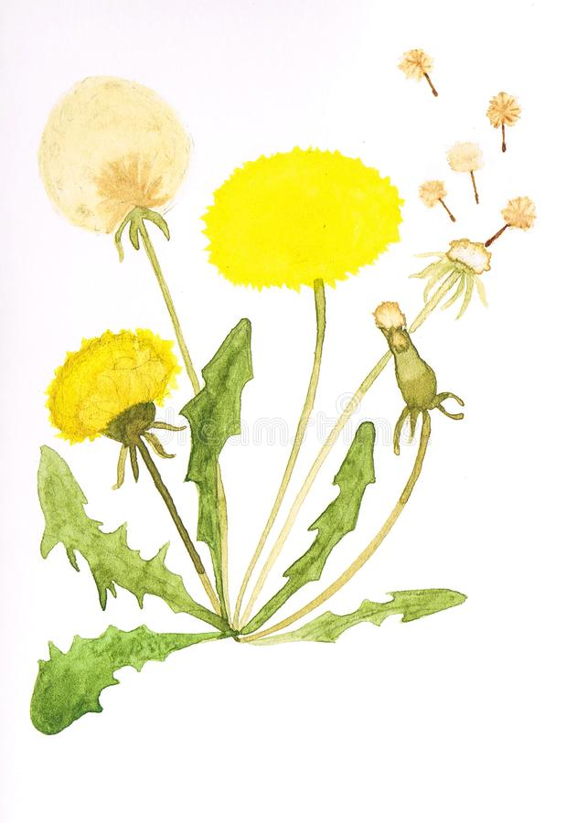 Akwareli dandelion handmade kwiat royalty ilustracja