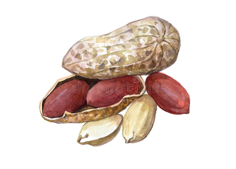 Akwareli dokrętki arachidowy jedzenie royalty ilustracja