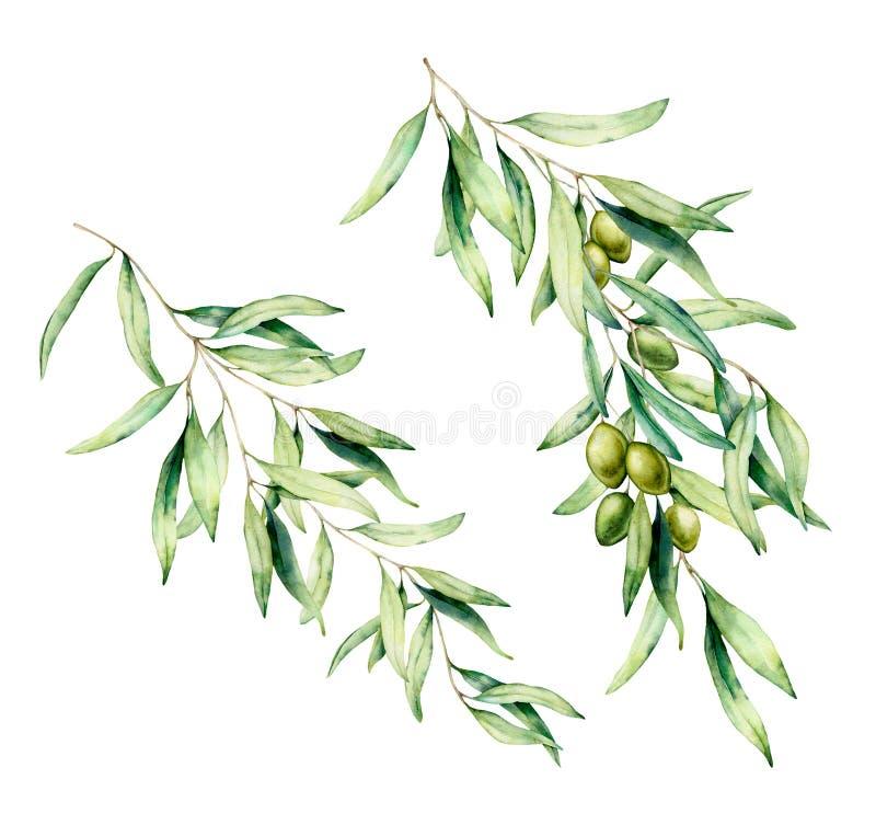 Akwareli drzewa oliwnego gałąź set z zielonymi oliwkami i liśćmi R?ka maluj?ca kwiecista ilustracja odizolowywaj?ca na bielu ilustracja wektor