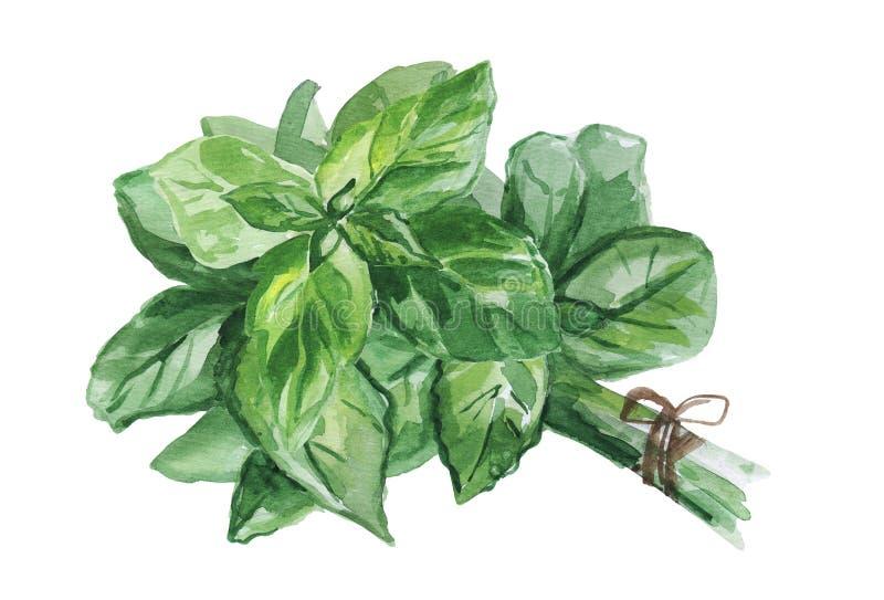 Akwareli ilustracja świezi basilów liście odizolowywający na białym tle royalty ilustracja