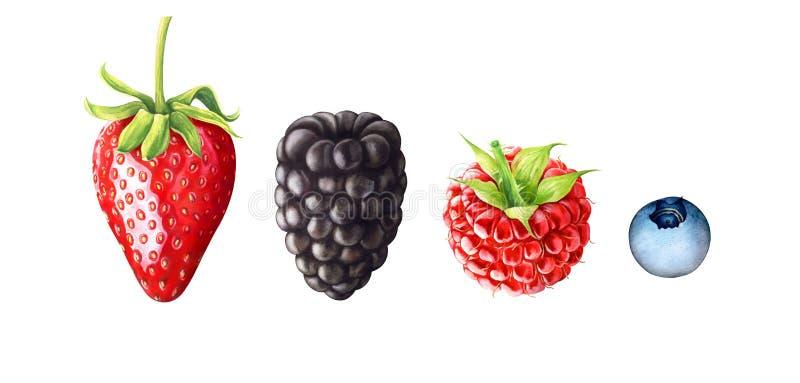 Akwareli ilustracja jagody Truskawka, czernica, malinka, czarna jagoda odizolowywająca na białym tle ilustracji